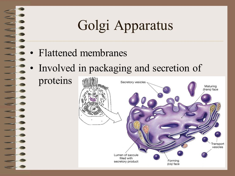 Golgi Apparatus Flattened membranes