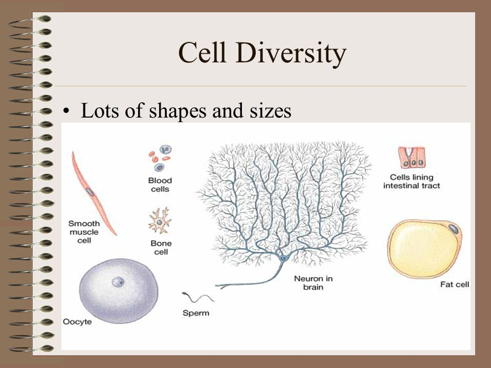 Cell Diversity Lots of shapes and sizes