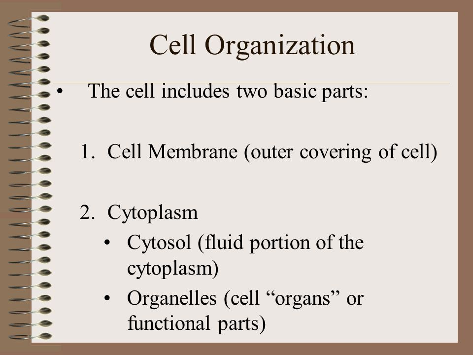 Cell Organization The cell includes two basic parts: