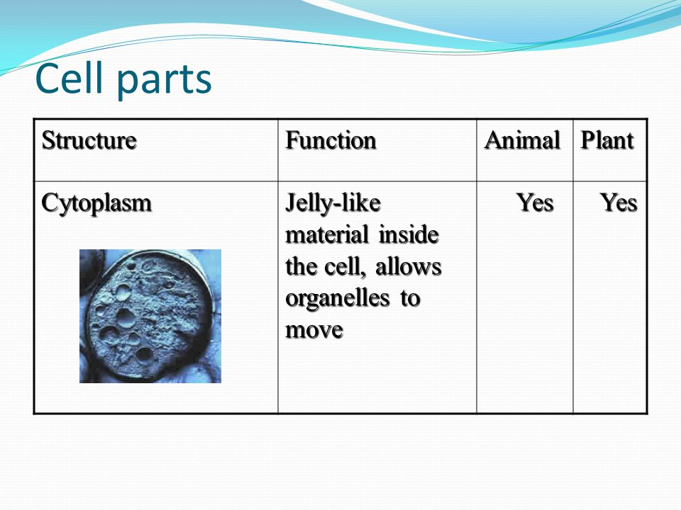 Cell parts Structure Function Animal Plant Cytoplasm