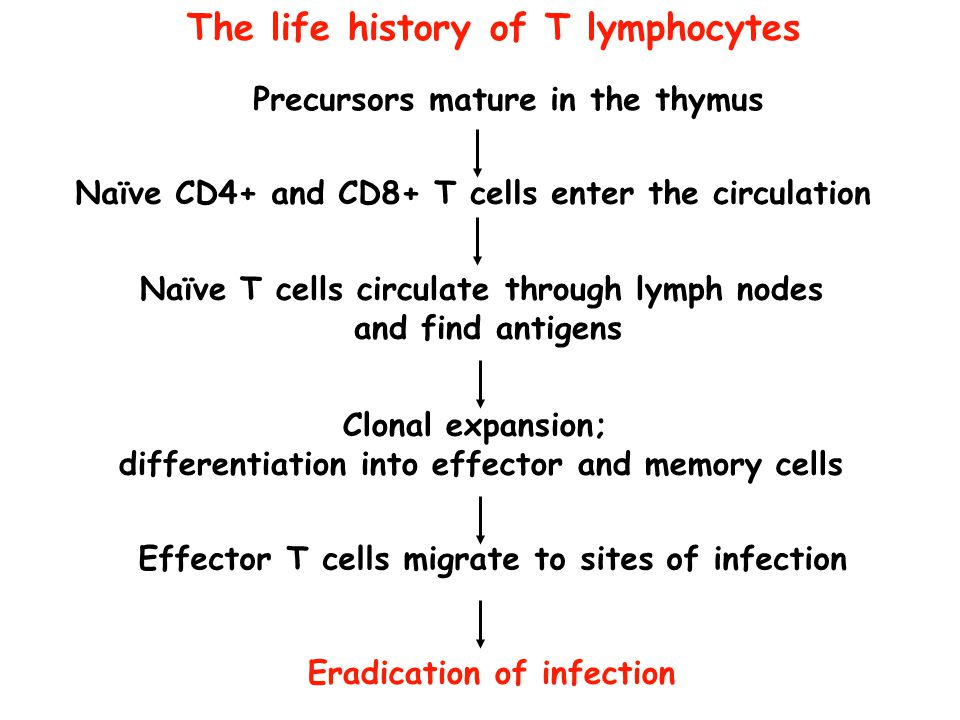 The life history of T lymphocytes