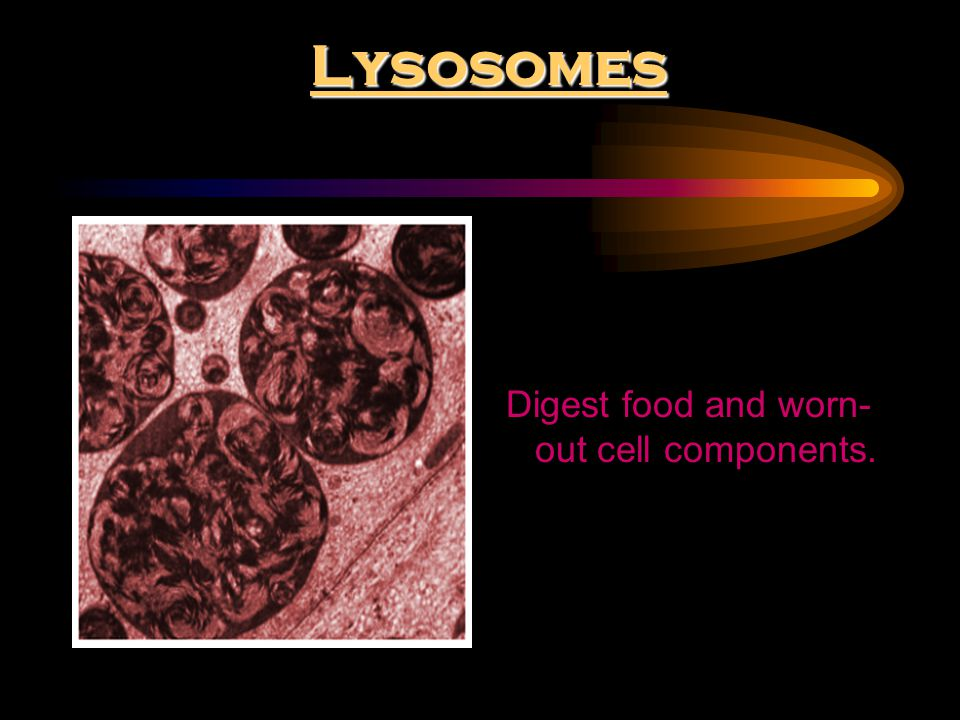 Digest food and worn-out cell components.