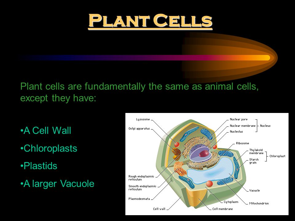 Plant Cells Plant cells are fundamentally the same as animal cells, except they have: A Cell Wall.