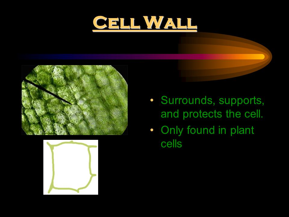 Cell Wall Surrounds, supports, and protects the cell.