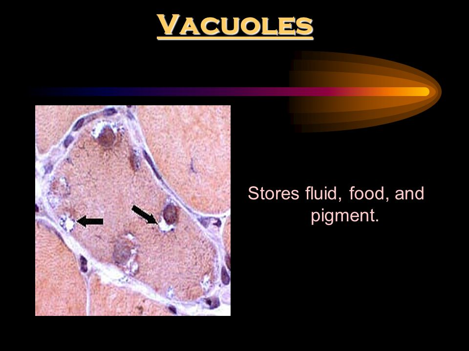 Stores fluid, food, and pigment.