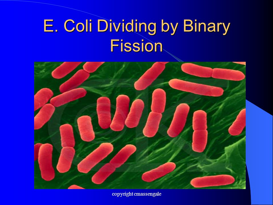 E. Coli Dividing by Binary Fission