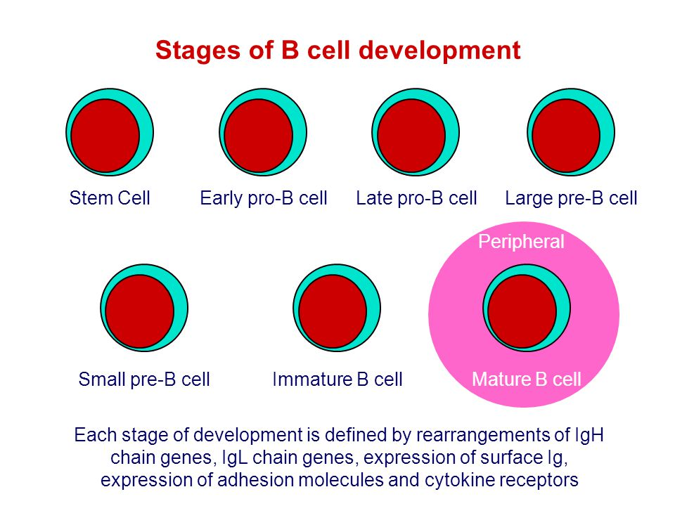 Stages of B cell development