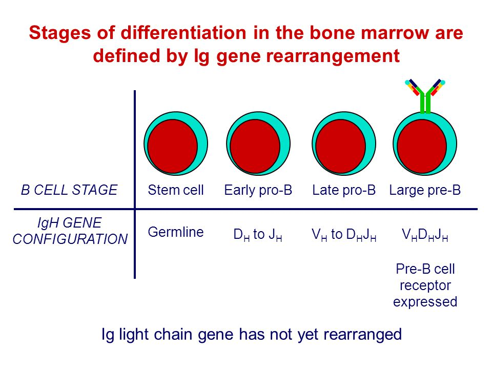 Stages of differentiation in the bone marrow are