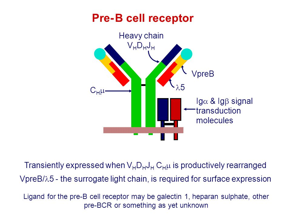 Transiently expressed when VHDHJH CHm is productively rearranged