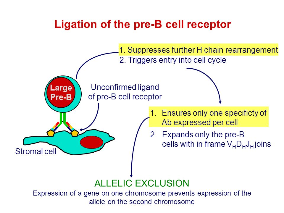 Ligation of the pre-B cell receptor