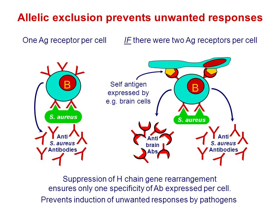 Allelic exclusion prevents unwanted responses