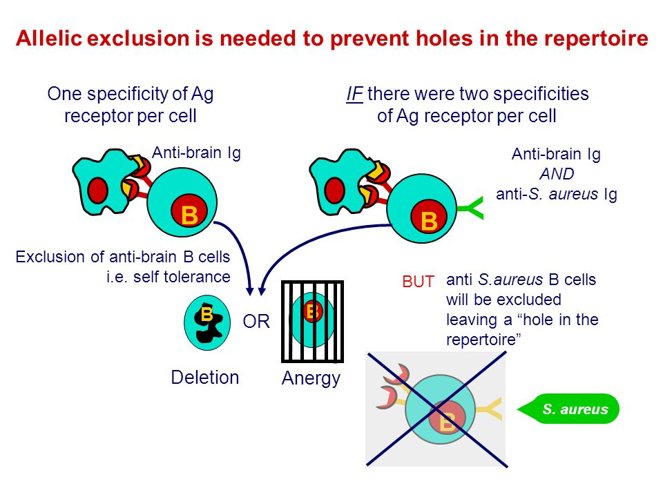 Allelic exclusion is needed to prevent holes in the repertoire