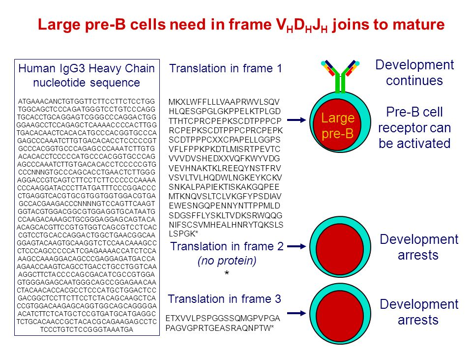 Large pre-B cells need in frame VHDHJH joins to mature