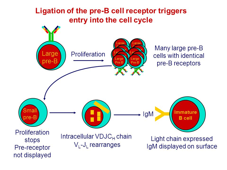 Ligation of the pre-B cell receptor triggers entry into the cell cycle