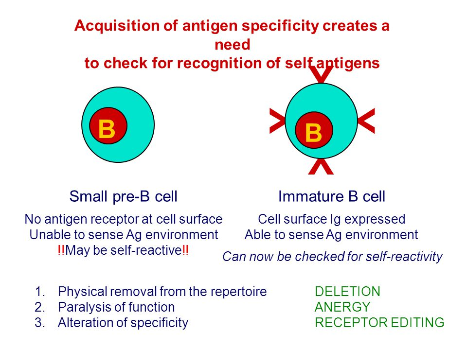 Y B B Acquisition of antigen specificity creates a need