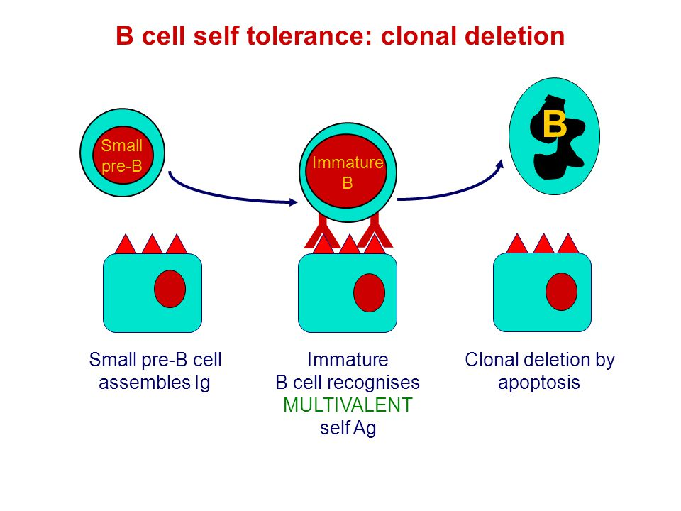 B cell self tolerance: clonal deletion