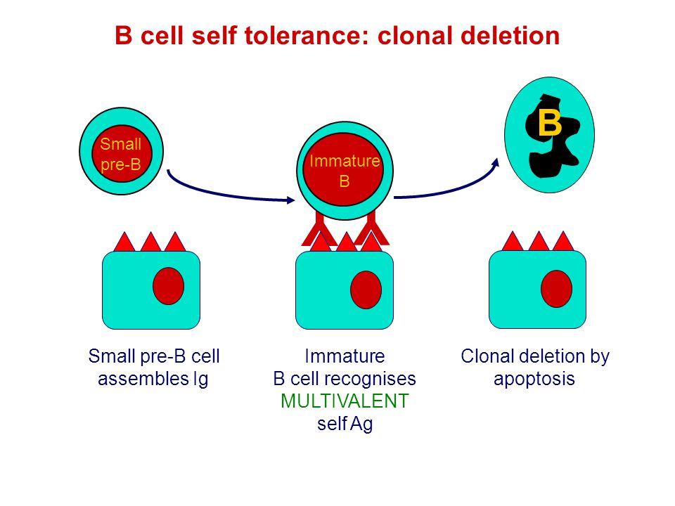 B cell self tolerance: clonal deletion