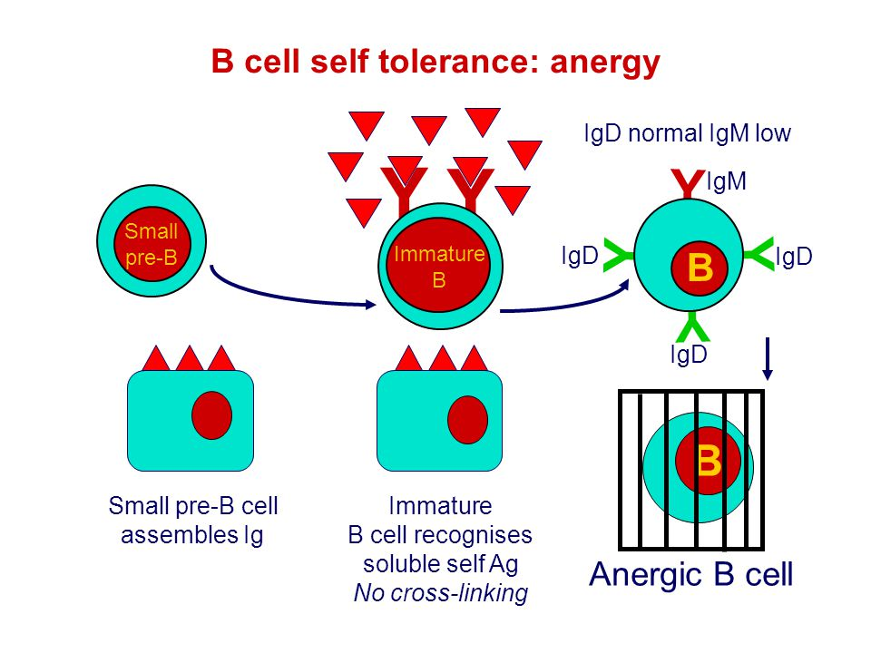 B cell self tolerance: anergy