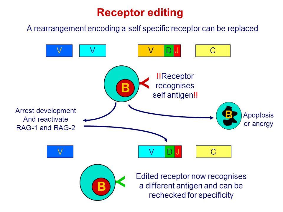 Y Y B B Receptor editing B