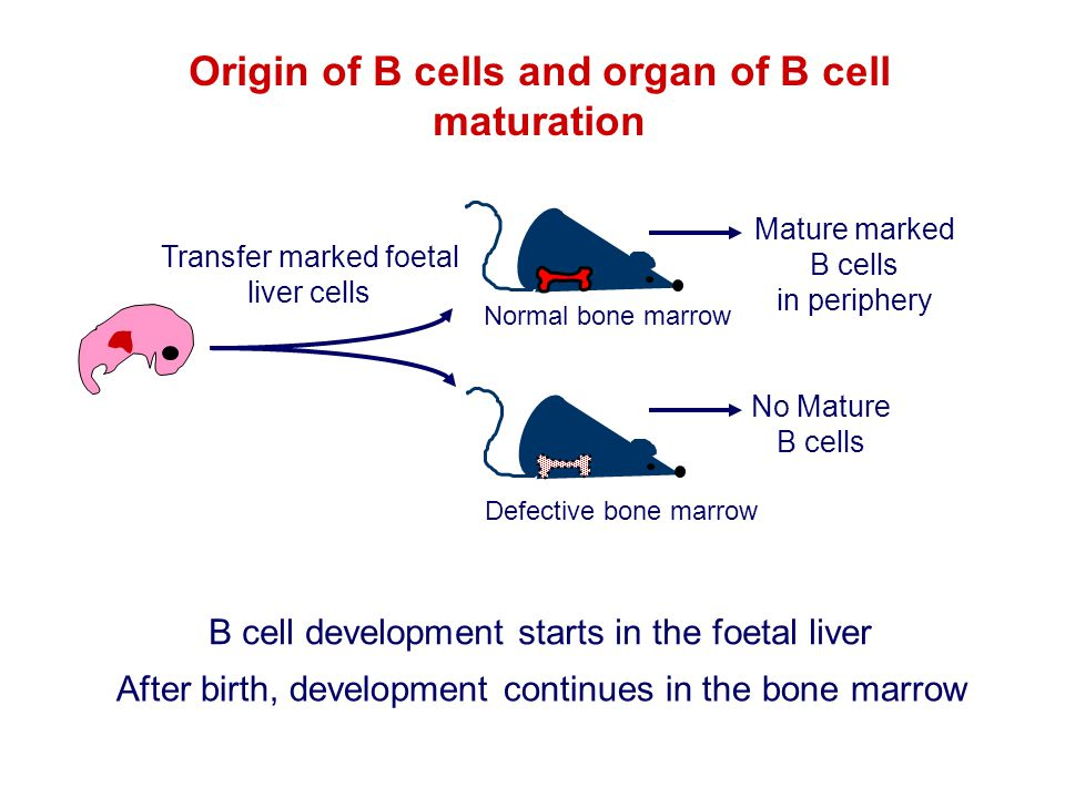 Origin of B cells and organ of B cell