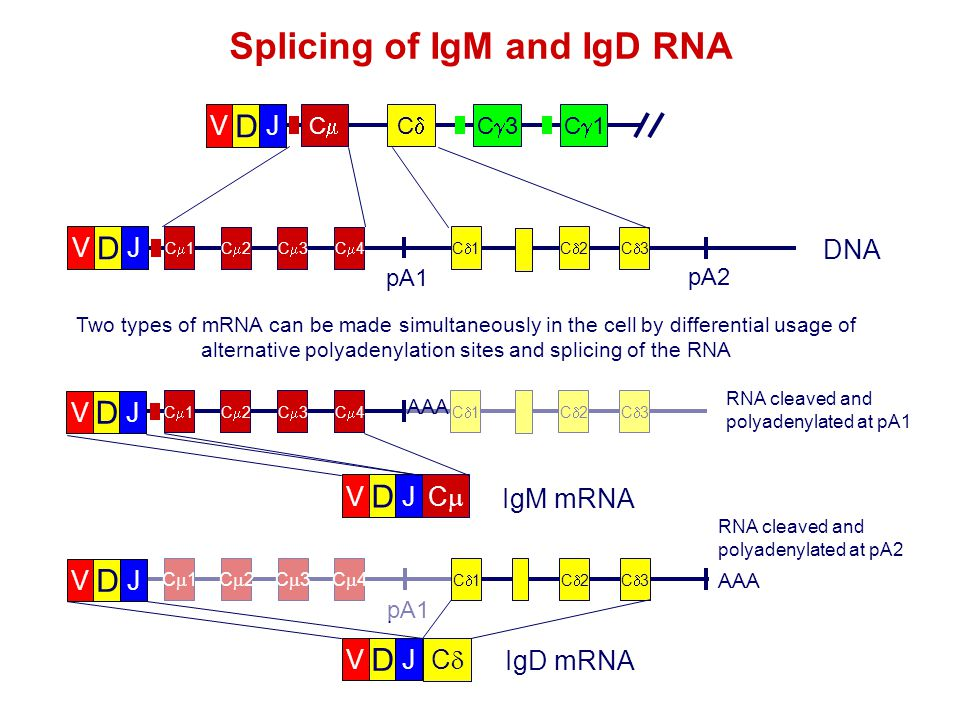 Splicing of IgM and IgD RNA