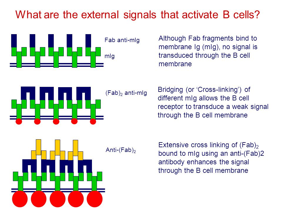 What are the external signals that activate B cells