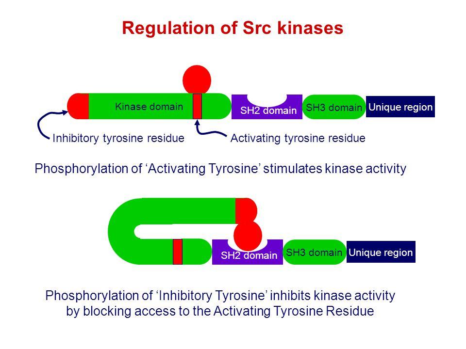 Regulation of Src kinases
