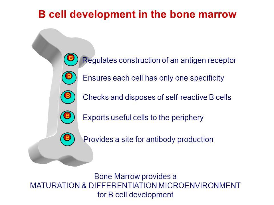 B cell development in the bone marrow