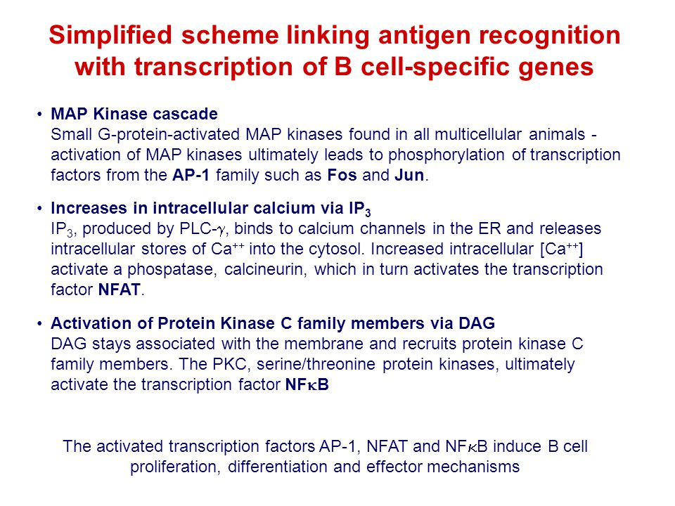 Simplified scheme linking antigen recognition with transcription of B cell-specific genes