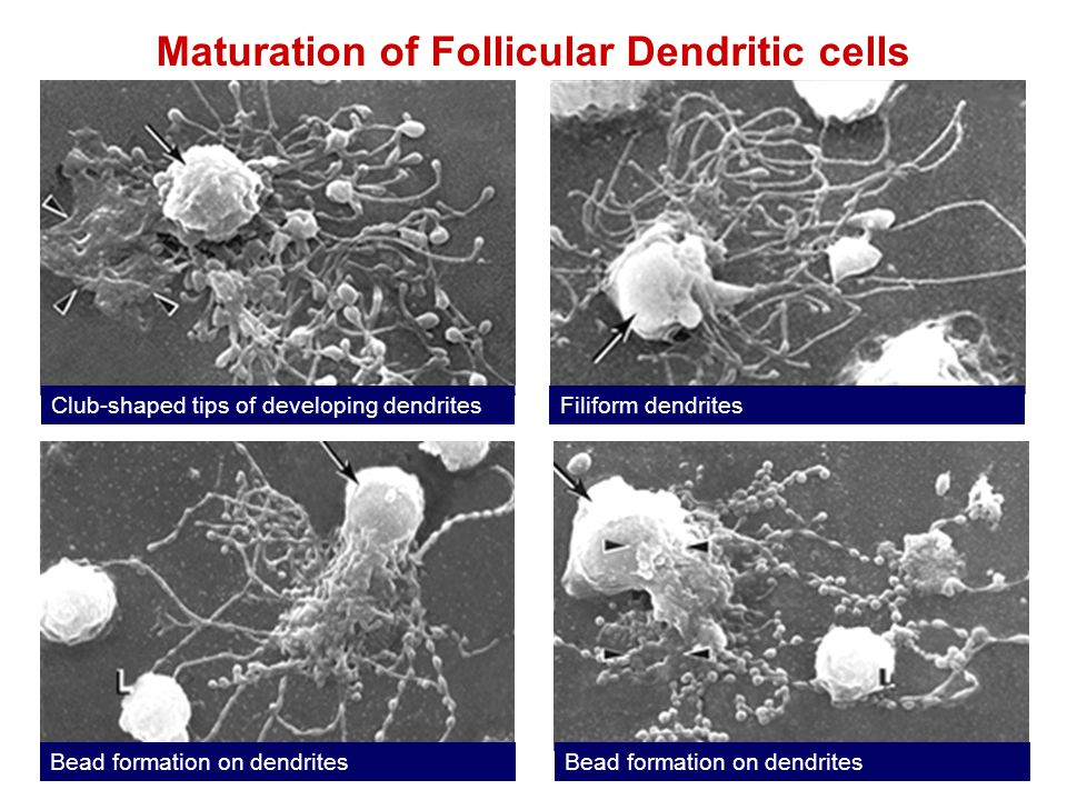 Maturation of Follicular Dendritic cells