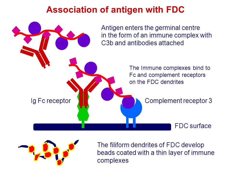 Association of antigen with FDC