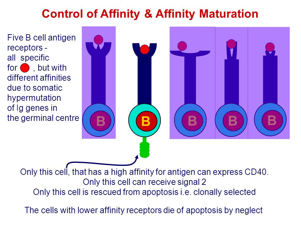 Control of Affinity & Affinity Maturation