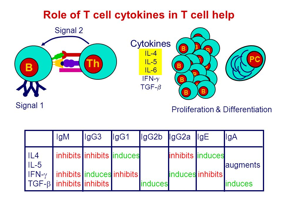 Y Role of T cell cytokines in T cell help Th B Cytokines Signal 2 PC