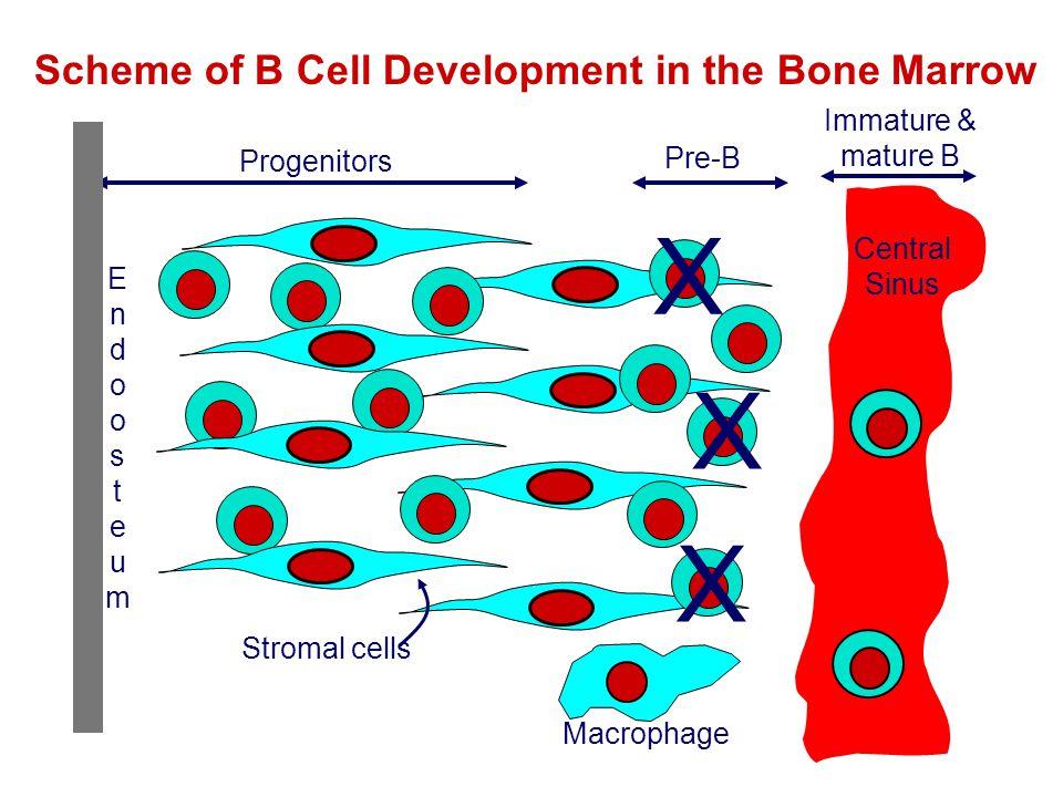Scheme of B Cell Development in the Bone Marrow