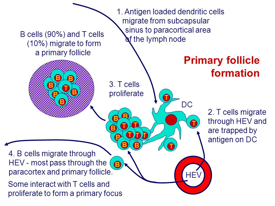B cells (90%) and T cells (10%) migrate to form a primary follicle