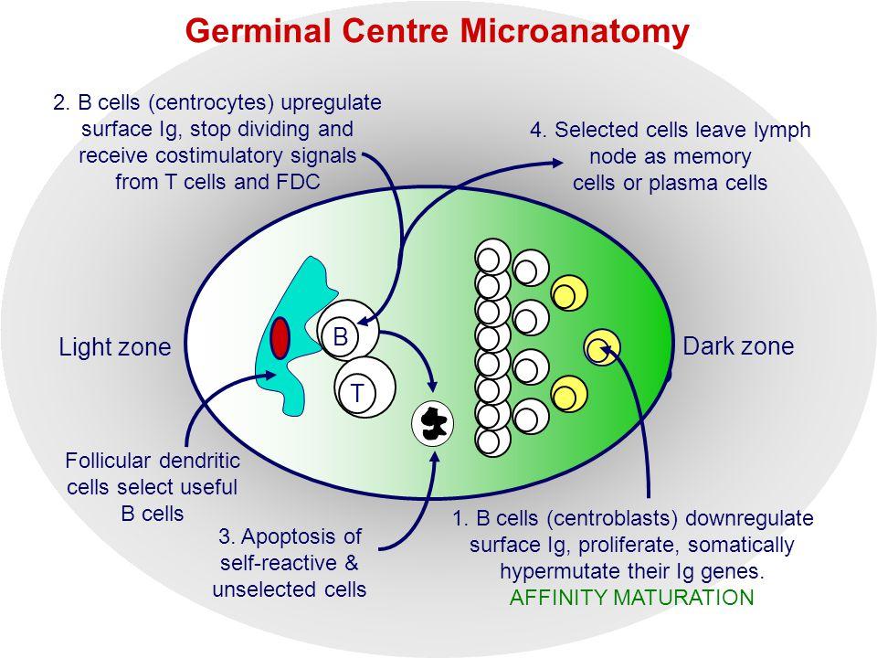 Germinal Centre Microanatomy