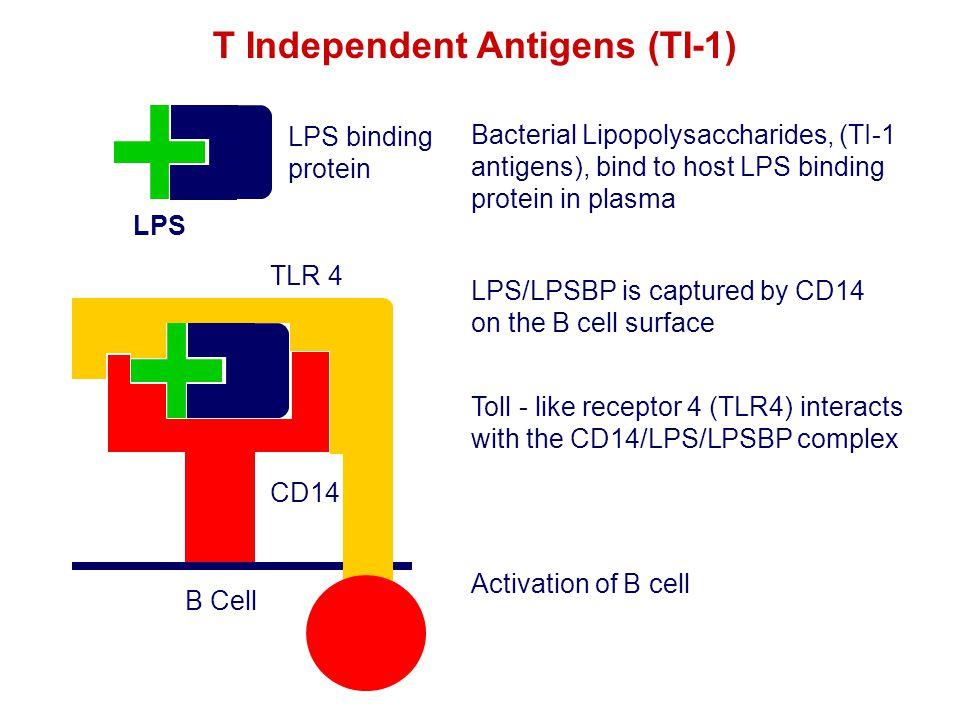 T Independent Antigens (TI-1)