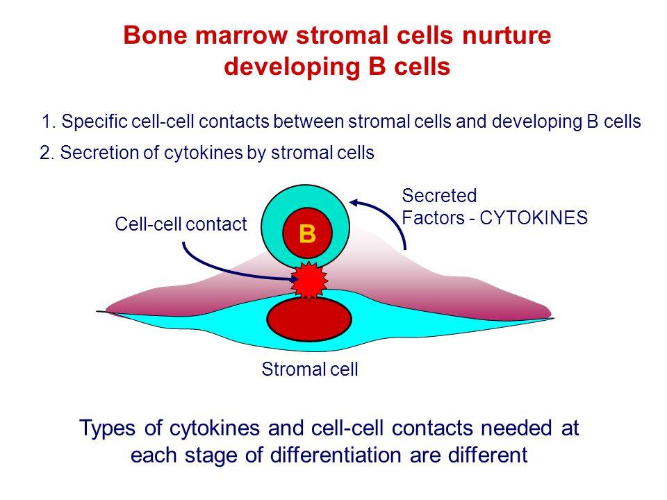 Bone marrow stromal cells nurture developing B cells