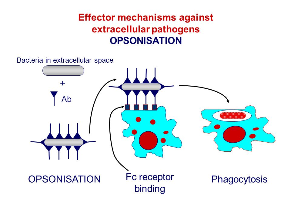 Effector mechanisms against extracellular pathogens