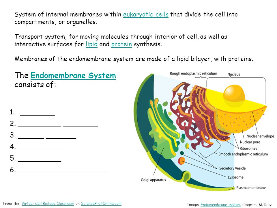 The Endomembrane System consists of: