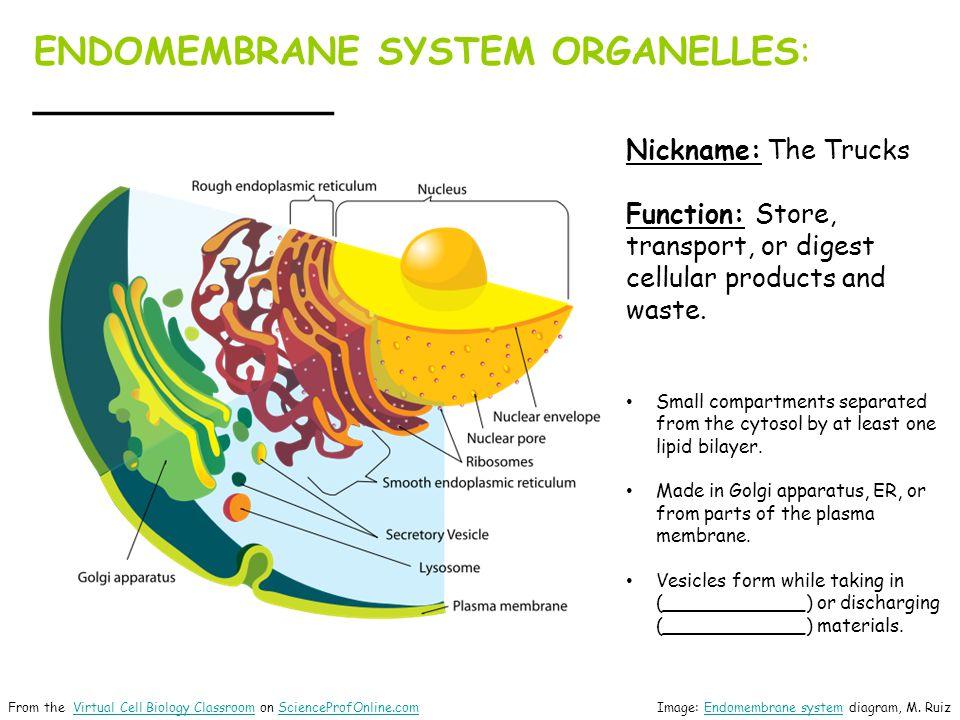 ENDOMEMBRANE SYSTEM ORGANELLES: _____________