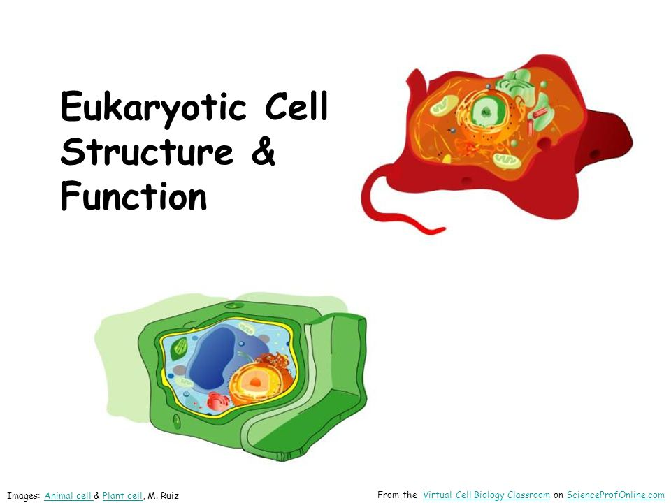 Eukaryotic Cell Structure & Function