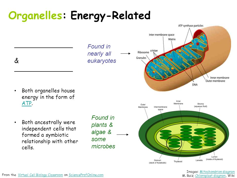 Organelles: Energy-Related