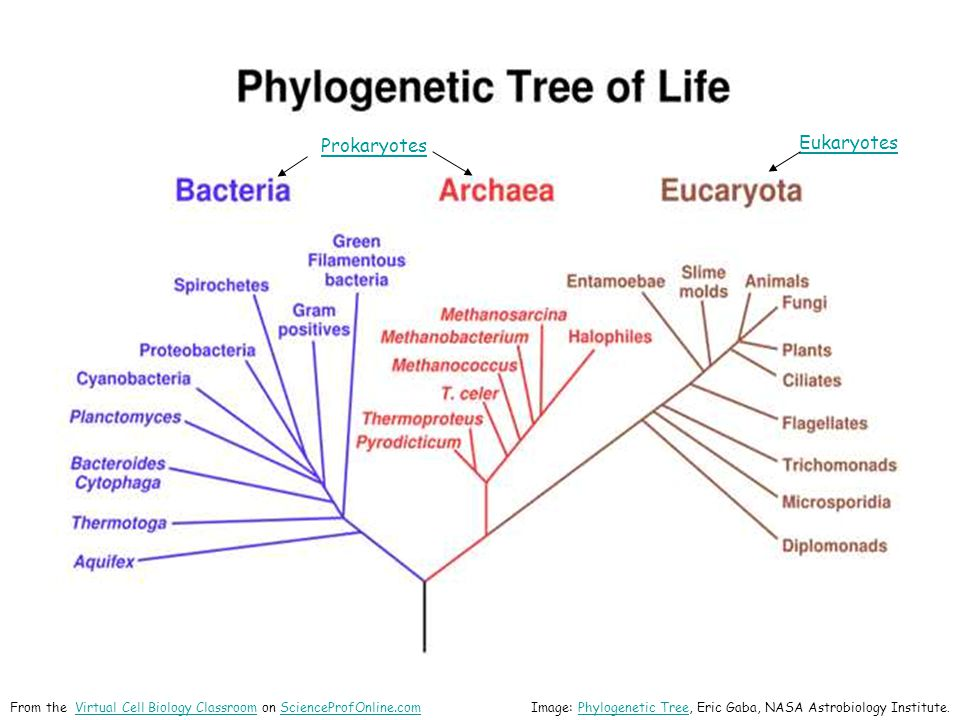 Eukaryotes Prokaryotes