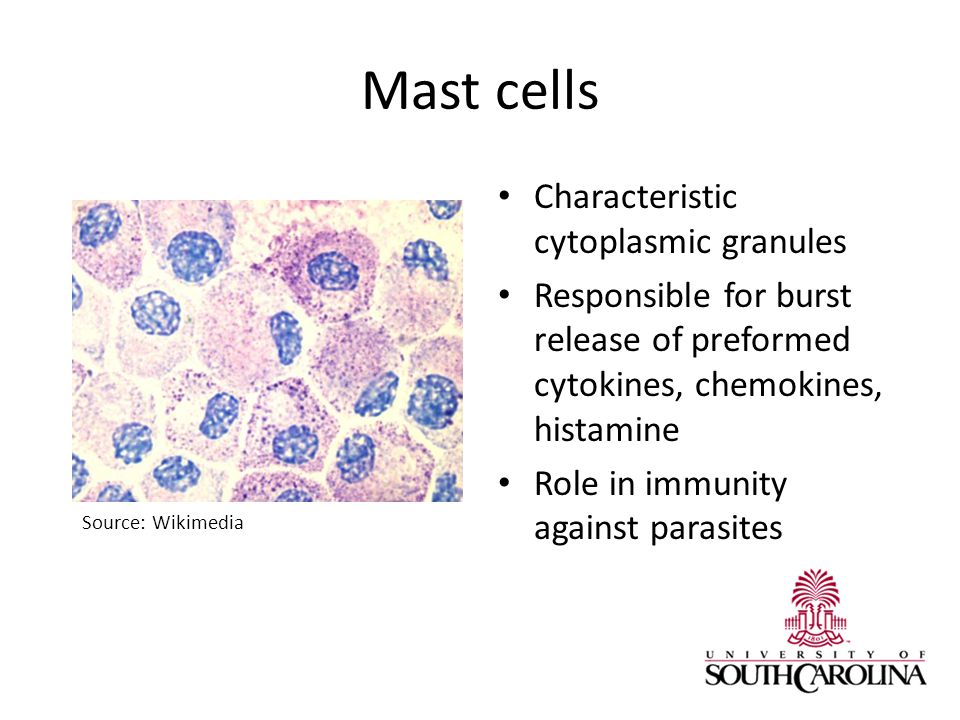 Mast cells Characteristic cytoplasmic granules