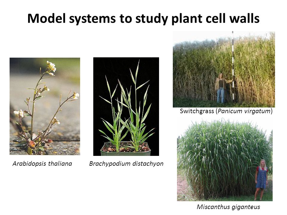 Model systems to study plant cell walls
