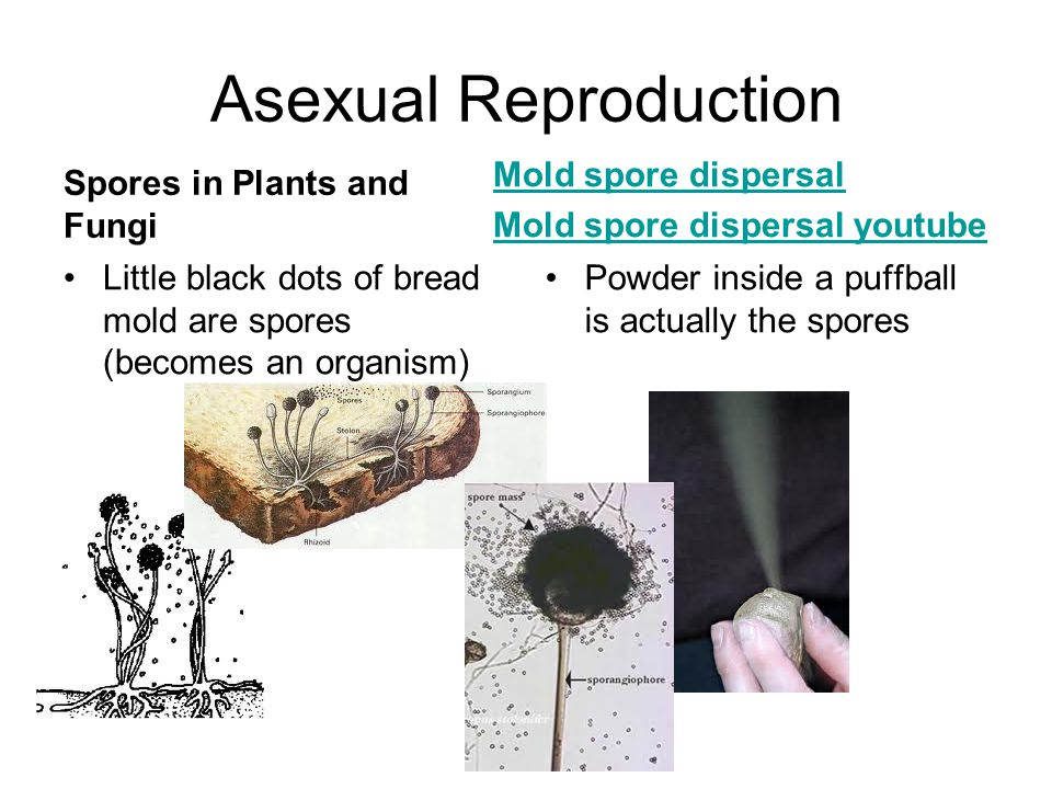 Asexual Reproduction Spores in Plants and Fungi Mold spore dispersal