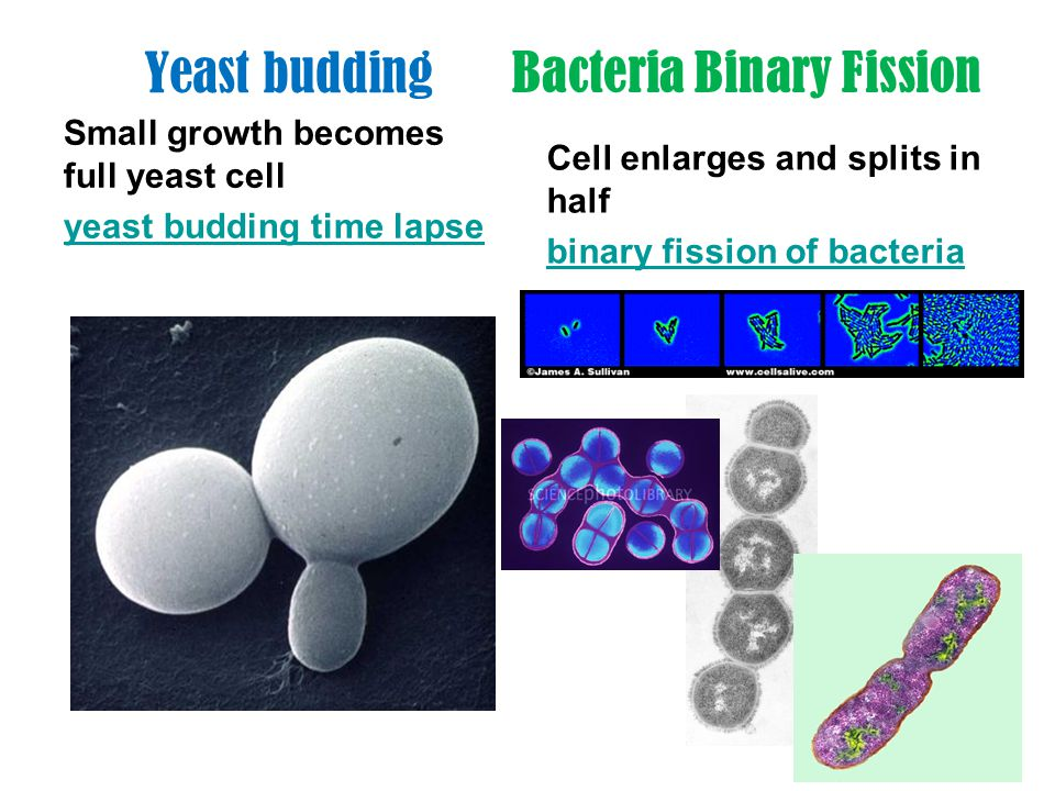Bacteria Binary Fission