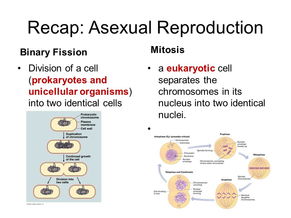 Recap: Asexual Reproduction