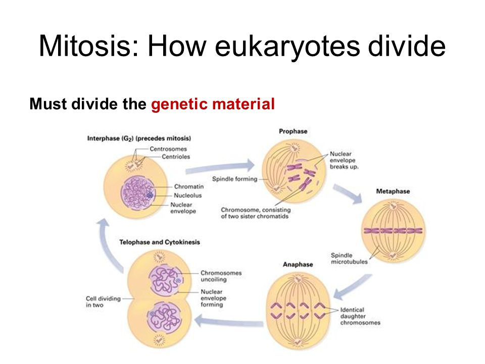 Mitosis: How eukaryotes divide